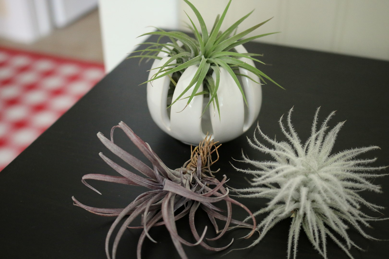 air-plants-growing-at-loma-mar-vacation-cottage