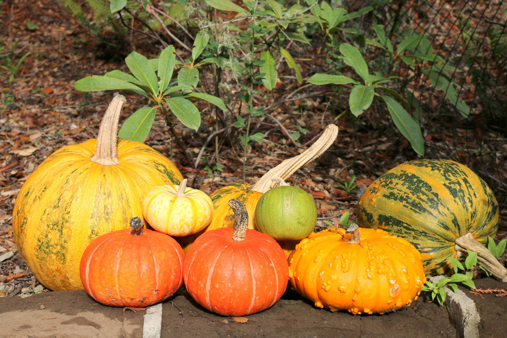 pumpkins-growing-at-loma-mar-vacation-cottage